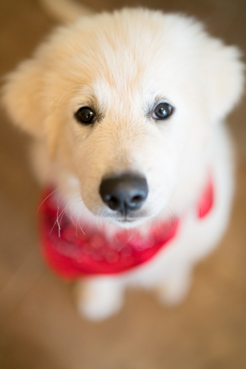 A Great Pyrenees puppy wearing a red bandana looks at the camera