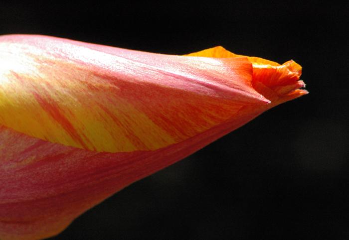 Solo El Nino Tulip