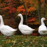 Three White Geese