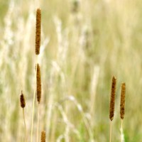 Meadow Cat's-Tail