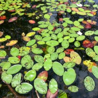 Lily Pads at Spettigues Pond