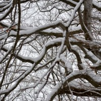 Beech Branches in Snow