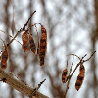 Winter Locust Pods
