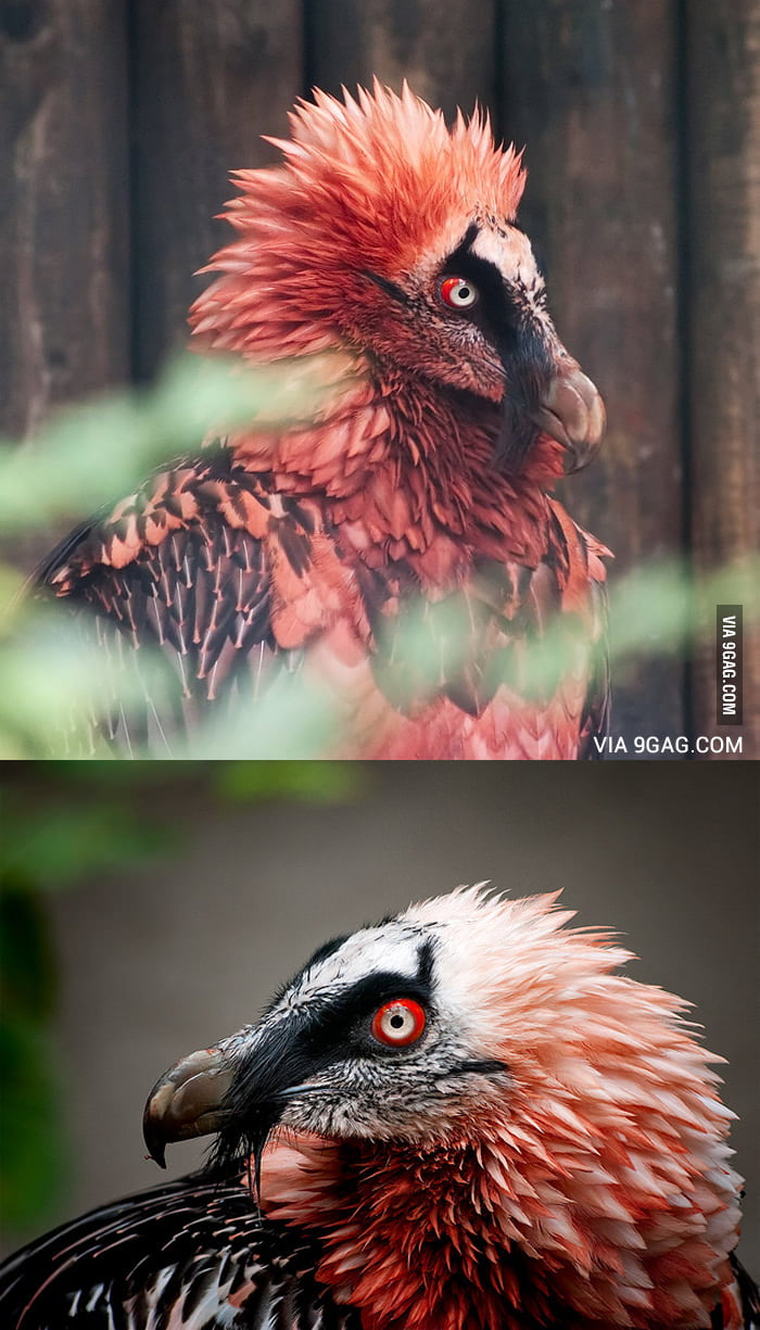Anime Dark Girl Wallpaper Red Bearded Vulture That Creature Is A Living Artifact