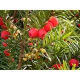 Inglés tejo, Taxus baccata, semillas de árboles (Evergreen, Topiary, Bonsai) 10pcs