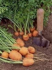 PLAT FIRM Germinazione I semi PLATFIRM-100 + Non-GMO Cipolla Seed - Barletta Rosso Borgogna Walla Walla Spagnolo