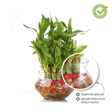 Nurturing Green Special Rakhi- Lucky Bamboo Two Layer in Round Glass Pot with one Male Rakhi 6