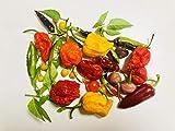 Chilisamen-Mix (Habanero) 30 Samen
