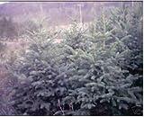 vegherb Las Semillas de Picea glauca Pungens Colorado Spruce Azules!