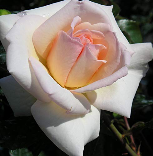 Penny Lane - 5.5lt Potted Climbing Rose - Pink to Champagne/Apricot Tones