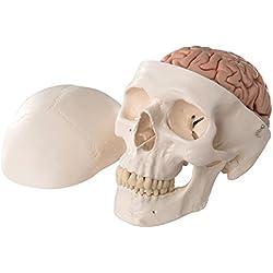 3B Scientific A20/9 Modelo de anatomía humana Cráneo Clásico con Cerebro y conexiones magnéticas, 8 Piezas