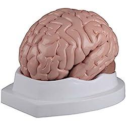 cerebro desmontable en 5piezas, incluye tarjeta de enseñanza