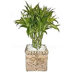 Vistaric Rare Lucky Bamboo Semi di Palma 30 Pz Lady Palm Piante Bonsai da Interno Rhapis Excelsa Fai da Te Casa Giardino Albero Semi Purificazione dell'Aria 6