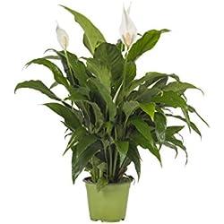 Pianta vera fiorita ornamentale GIGLIO DELLA PACE SPATHIPHYLLUM 'EVERGREEN' - SPATIFILLO Ø 17 cm - h 45 cm