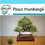 SAFLAX - Set regalo - Pino negro japonés - 30 semillas - Pinus thunbergii