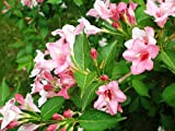 Shoopy Star 50 japoneses semillas rojas de Pino, Pinus densiflora