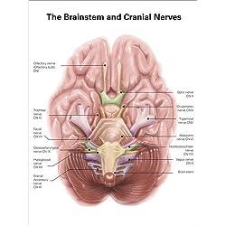Cuadro sobre lienzo 100 x 130 cm: Anatomy of human brain stem and cranial nerves.