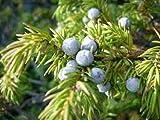 Portal Cool 150 Semillas de enebro árbol X comunes (Juniperus communis) Las Semillas del árbol del arbusto
