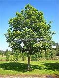GETSO 30 PC RARA Planta del árbol de Ceniza Fraxinus chinensis Jardín Bonsai Ornamental China Árbol de Hoja caduca Planta BAI La Shu de Tiesto: 6