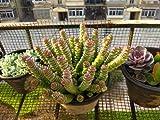 Trendylovers 30 Semillas Suculentas Planta Semillas Lithops Pseudotruncatella para Bonsai, Balcón, Casa, Jardín Crassula'Jade Necklace'