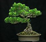 GETSO Semillas Paquete no Plantas: 400 Semillas: Mugo de Pino, Pinus mugo, Semillas (Hardy Hoja perenne, Bonsai, Topiary)
