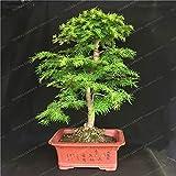 AGROBITS Familia Pinaceae Larix gmelinii Bonsai 100PCS Dahurian Alerce Bonsai cultiva extensamente hoja caduca Jardín planta del árbol Bonsai
