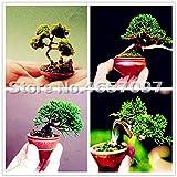 SANHOC Bonsai 100 Piezas de Colores Juniper Bonsai japonés Mixta de Arranque árbol Juniperus procumbens Nana Planta de Tiesto para el hogar y jardín: Mixta