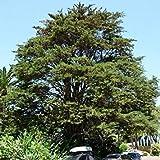 TOMHY Las Semillas del Paquete: germinación de Las Semillas PLATFIRM-25 Semillas MontereySeed Semillas (Cupressus macrocarpa)