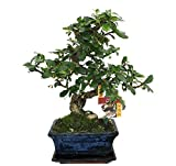 Bonsai Fukientee - Carmona microphylla - 6 years