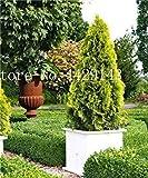SONIRY Germinación de Las Semillas: 50 PC Italianos (Cupressus sempervirens) Semilla, Rock and Hardy para el hogar Jardín de Semillas Ing: Amarillo