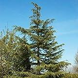 VISA STORE 5 Semillas de 3528 Incienso Cedar (Cedrus Deodara)