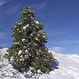 FERRY Semillas orgánicas única No Plantas: Semillas Cedrus Deodara Himayan Cedar 200 (Aproximadamente 1540 Semillas) Fresca