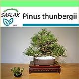SAFLAX - Garden to Go - Pino negro japonés - 30 semillas - Pinus thunbergii