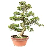 Azalea japonica Osakazuki, Rhododendron 35 años, altura 66 cm