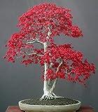 Exotic Plants Acer palmatum - Arce japonés - Bonsai - 10 Semillas