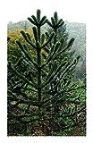 SANHOC Semillas Paquete: 3 semillas: Araucaria araucana - rompecabezas de mono - mono - 3 seedsSEED