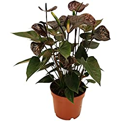 "Anthurium andreanum ""Black Karma"" - with black flower in 12cm pot"