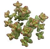 Pinkdose 10 Semillas: Inglés tejo, Taxus baccata, semillas de árboles (Evergreen, Topiary, Bonsai)