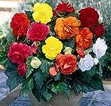 GARTHWAITE NURSERIES® : - 6 Mixed Double Begonias Tuberous Bulbs/Corms for Garden & Tubs Stunning Summer Plant