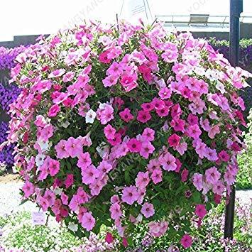 Rossi: 200pcs Hanging Petunia Semi Melissa fiore originale Semi Fiori Per la casa giardino bonsai Pot semina Petunia Fiore Rosso di farmerly