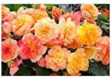 PREMIER SEEDS DIRECT - Begonia Tuberous - ON TOP - Sunset Shades F1-15 PELLETS