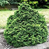 vegherb Semillas Blue Spruce Tree (Picea glauca) Pungens 25 + Semillas