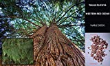 ScoutSeed 50 semi/semillas: CEDRO ROSSO OCCIDENTALE SEMI - THUJA PLICATA CEDRO OCCIDENTAL ROJO BONSAI + GUIDA