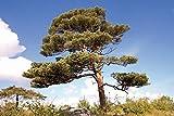 Portal Cool Las Semillas del Paquete: Pino Silvestre (Pinus sylvestris) Aprox 46 Semillas