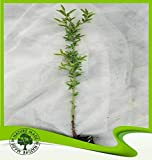 Prunus dulcis (Mandelbaum) - Pflanze