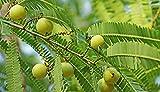 Kraft Seeds Amla Seed