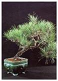 Tropica bonsai pino del mediterráneo (pinus pinea) - 6 semillas