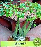 Semillas de Alto Crecimiento Solo no Las Plantas de Hoja perenne: Semilla Semillas Ficus Religiosa - Pipal 50 Semillas Semillas Bonsai Semillas (20 por Paquete)