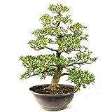 Azalea japonica Shin koyo, Rhododendron 33 años, altura 74 cm