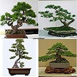 Portal Cool Paquete de semillas: 10pcs: Semillas 10Pcs japonesa de árbol de pino de Bonsai Pinus thunbergii semillas de árboles Inicio Iloe